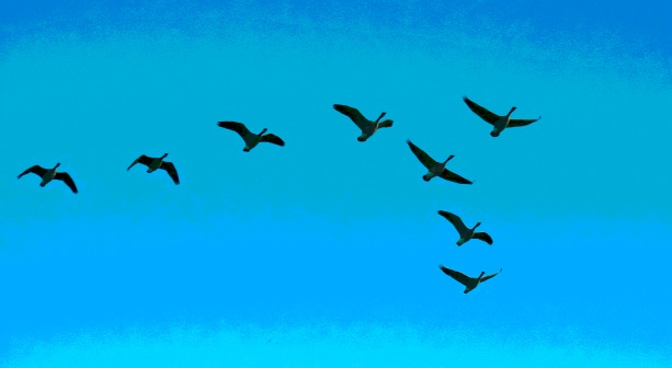 geese-flying
